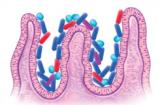 Intestino_microbiota